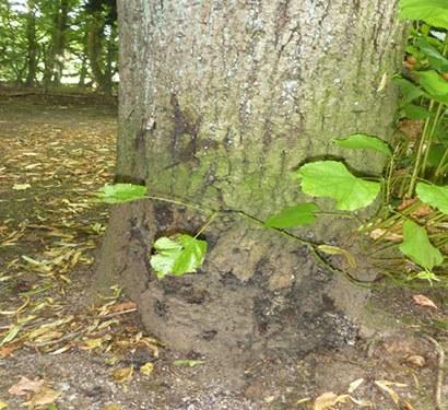 Baumfällungen: Linde, Arboretum #2