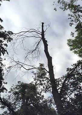 Baumfällungen: Rosskastanie, Stadtgarten