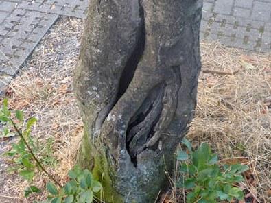 Baumfällungen: Esche, Jostenallee 24