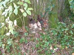 Baumfällungen: Hybridpappel, Nixhuetter Weg