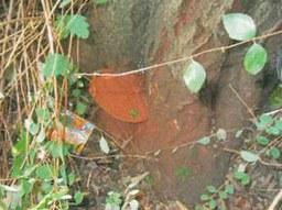 Baumfällungen: Schwarz-Erle, Bergheimer Straße