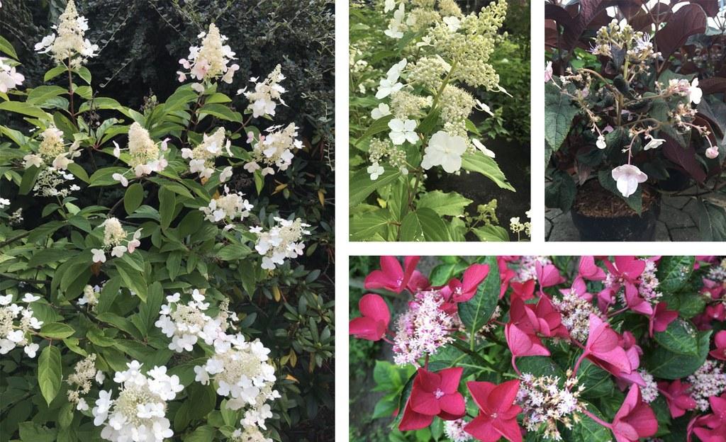Hortensien-Blütenvielfalt