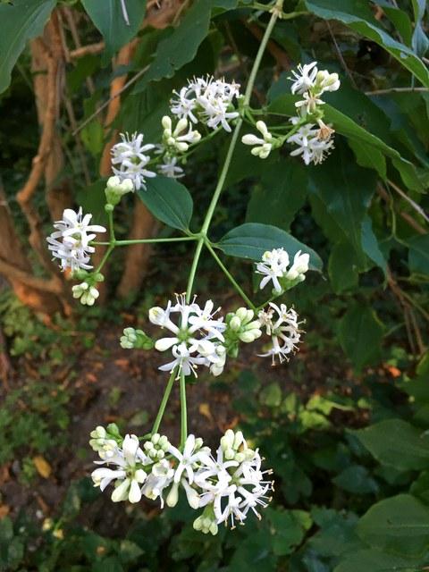 Blüte des Strauches der sieben Söhne